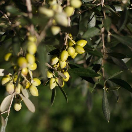 Canzoniere olivenoel 3