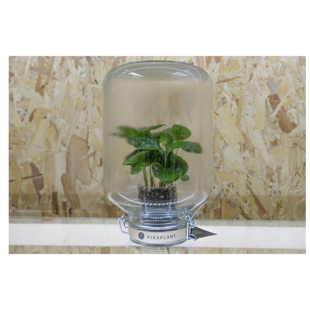 Pikaplant, Coffee arabica, selbstbewässernd