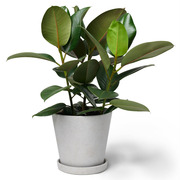Zimmerpflanze 'Die Treue'