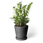 Zimmerpflanze 'Die Glückliche'