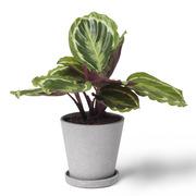 Zimmerpflanze 'Die Lebhafte'