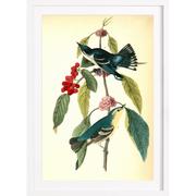 Vogelstudie 'Coerulean Wood-Warbler' gerahmt
