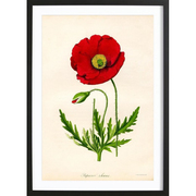 'Red Poppy' für deine Wand