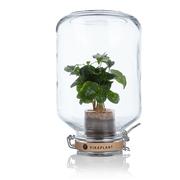 Pflanze im Glas 'Pikaplant'
