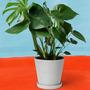 Zimmerpflanze Der Stilvolle